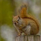 Little Red Riding Squirrel by Jeff Weymier