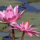 Two Pink Water Lilies and a Dragonfly by Sabrina Ryan