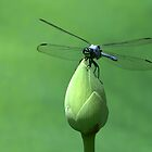 Blue Dasher Dragonfly by Sabrina Ryan