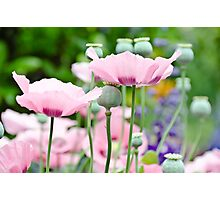 Rose Poppies blooming Photographic Print