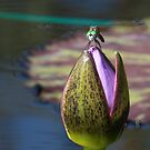 Dragonfly on Water Lily Bud by Robert Armendariz