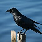 Crow (corvid) by Hovis