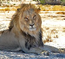 Kalahari King by Macky