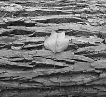 Leaf on Fallen Tree B&W 2 by elasita