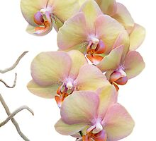 Yellow Orchids by Ann Garrett