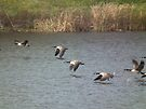 Geese Flying Over Pond by Deb Fedeler