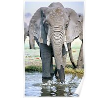 Thirst On The Chobe River Poster