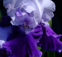 Mystique - Bearded Iris by Gabrielle  Lees