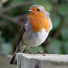 Robin by dilouise