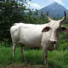 The Volcano and the Cow by P.M. Franzen