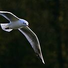 Little Gull, ( Hydrocoloeus minutus or Larus minutus) by Hovis