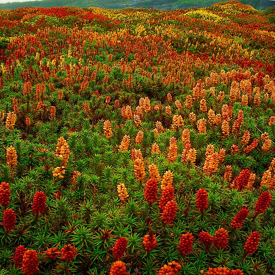 Flowering scoparia, Mount Ossa by Kevin McGennan