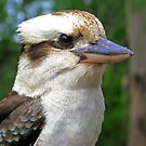 Kookaburra by Carol  Lewsley