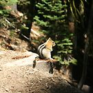 Golden-mantled Ground Squirrel by dylangould