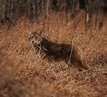 Curious Coyote by Ron Kube
