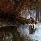 Male Wolf At Dusk by Jarede Schmetterer