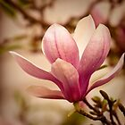 Magnolia 3 by imagesbyjillian