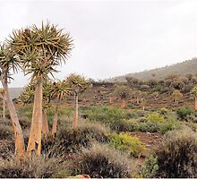 WINTER IN AFRICA - QUIVER TREE FOREST, NAMAQUA by Magaret Meintjes