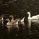 Duck, Duck, Duck, Duck by RockyWalley