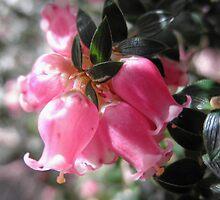 Tiny Blossoms, (Archeria eriocarpa), Knivet Track,Cradle Mountain,Tasmania,Australia. by kaysharp