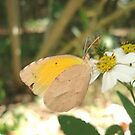 SLEEPY ORANGE ON BIDENS ALBA by May Lattanzio
