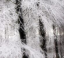 Snow on Sycamores by Ann Garrett