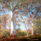 Mighty Ghost Gums - The Cedars, Hahndorf, The Adelaide Hills, SA by Mark Richards