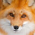 Fox Stare by Daniel  Parent