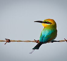Rainbow bee eater by Johan Larson