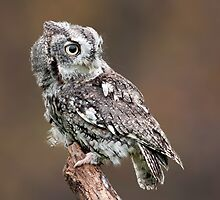 Eastern Screech Owl by (Tallow) Dave  Van de Laar