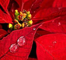 Sparkling poinsettias by Celeste Mookherjee