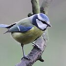 Blue Tit (Cyanistes caeruleus) by DJ-Stotty
