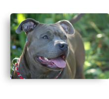Blue pitbull Metal Print