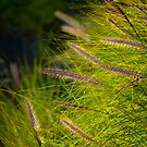 Fountain Grass, Pennisetum alopecuroides, in bloom by Eyal Nahmias