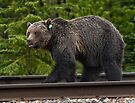 Grizzly Bear by Alex Preiss
