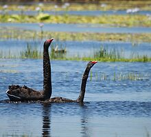Black Swan Love 2 by byronbackyard