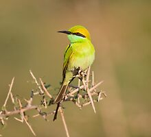 Small Bee-Eater by upadhyay