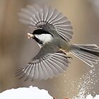 Black-capped Chickadee by Alinka