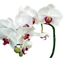 White Orchids by Ann Garrett