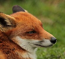 Fantastic Fox by Ian Marshall