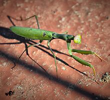 Praying mantis, praying ant. by Tigersoul