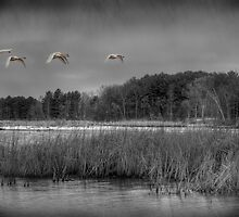 Swan Migration by Thomas Young