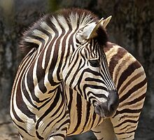 Zebra. by Julie  White