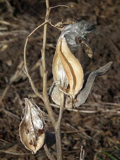 Open Milkweed Pods by Deb Fedeler