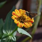 Moth on a Peppermint Zinnia by Paula Betz