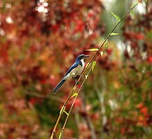 Blue Bird Enjoying Fall Color by DARRIN ALDRIDGE