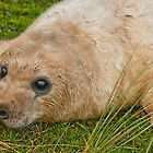 Seal Pups by cameraimagery