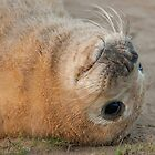 Seal Pup by cameraimagery