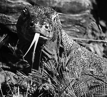 Komodo Dragon by Glynn Jackson