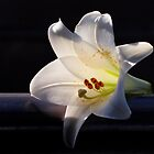White lily on black background. by Baska